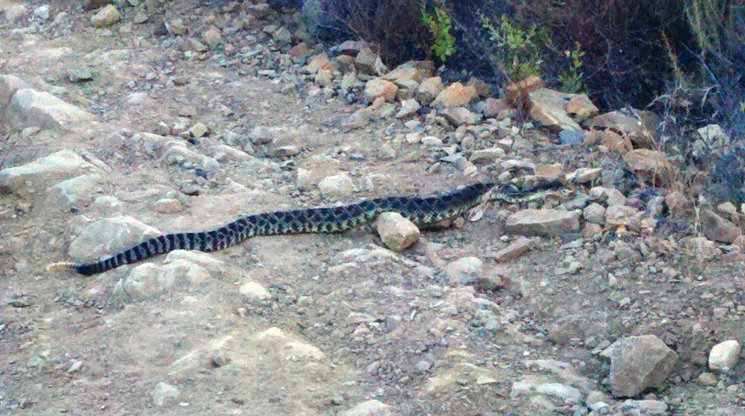 Notice the stocky size of this rattlesnake, the clear rattle, and the different series of dark and lights bands leading down towards the rattle.