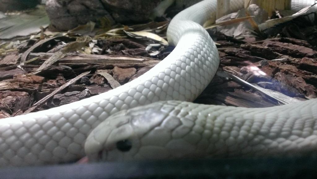 Thousand Oaks Cobra at San Diego Zoo 2