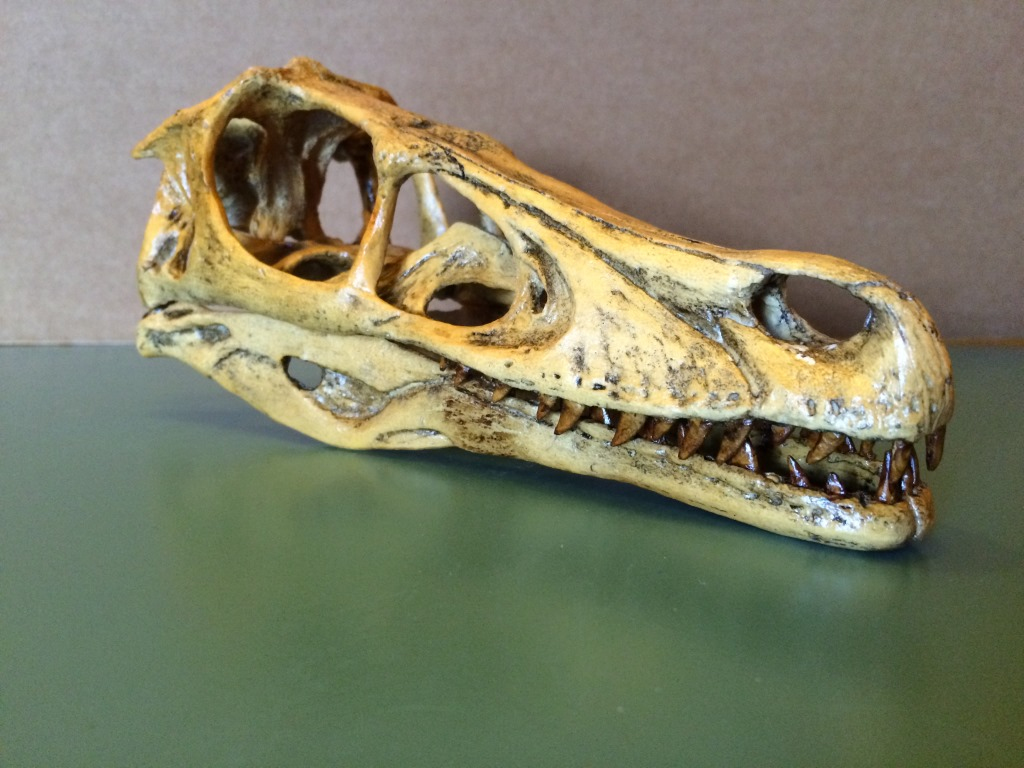 Skull (Cast) of a Velociraptor (Velociraptor mongeoliensis). Actual size of the late Cretaceous dinosaur. Gobi Desert of Mongolia and China.