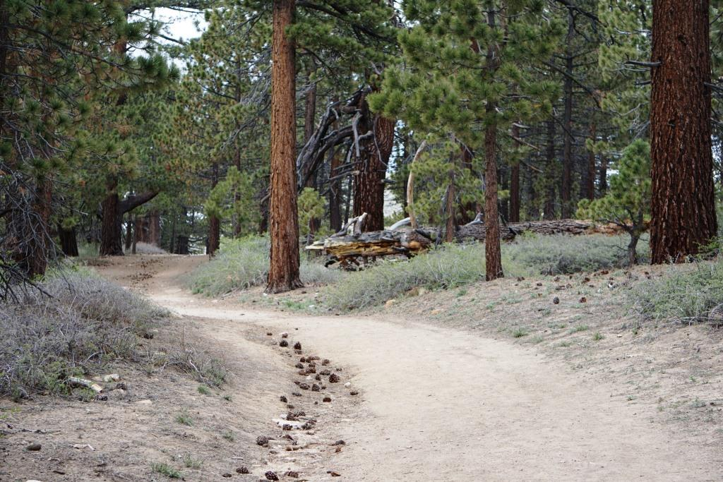 Trail to the Mt. Pinos summit is largely tree-lined. You may trip on a pine cone or two!