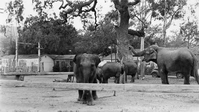 Five elephants at Goebel's Lion Farm (from the Ethel Nixon Collection (via Conejo Through the Lens, Thousand Oaks Library.)