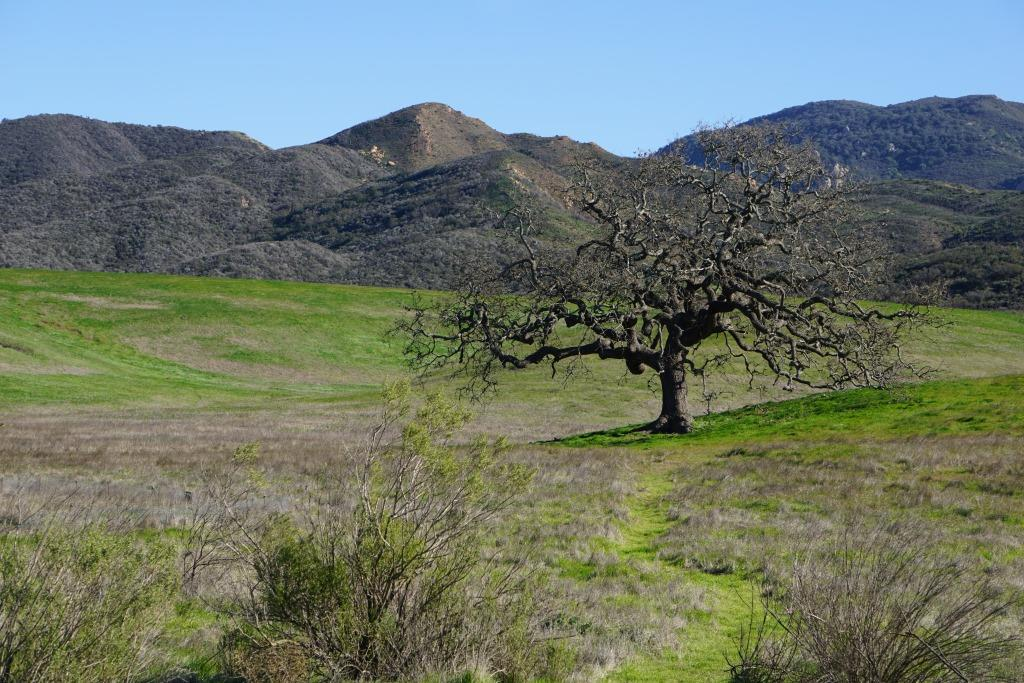 Lone Oak at Rancho Sierra Vista/Satwiwa