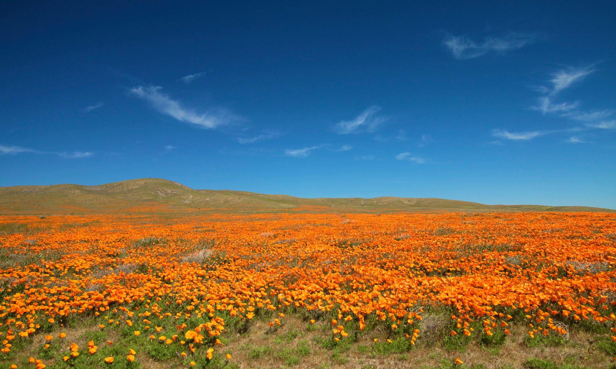 California Poppy Reserve in mid-April 2017 (Photo Credit: Joe Longo)