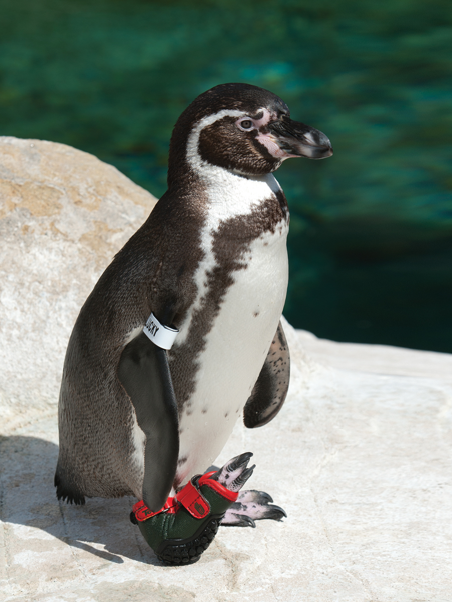 Lucky shown wearing one of his high-tech shoes designed by Teva, which allowed him to walk, swim, and be a part of the Santa Barbara Zoo's penguin colony. (Photo Credit: Tony Luna)