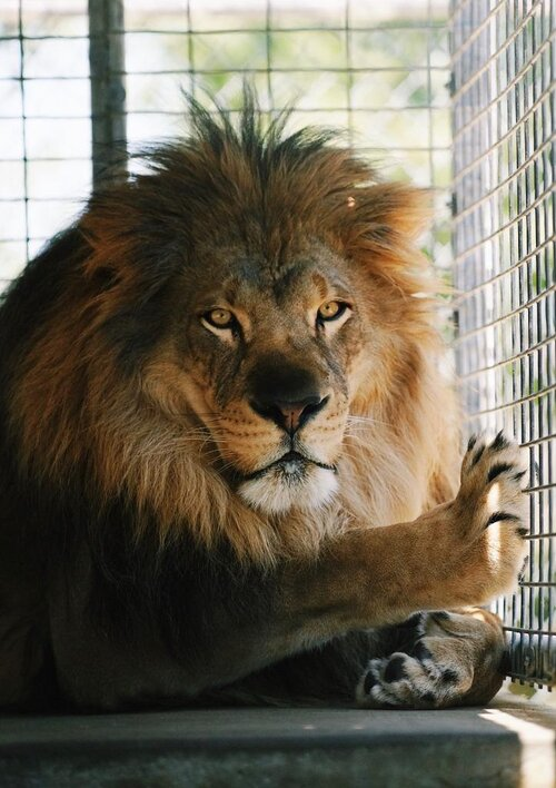 Moorpark Teaching Zoo-Lion - Copy.jpeg