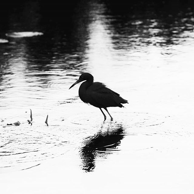 Beauty is eternity gazing at itself in a reflection, but you are eternity and you are the reflection . . . . .  #kahlilgibran #goodreads #thoughtoftheday #blackandwhite #bnwphotography #artoftheday #naturephotography #exploretocreate  #birdwatching #visualsoflife #contrast #reflection #fineartphotography