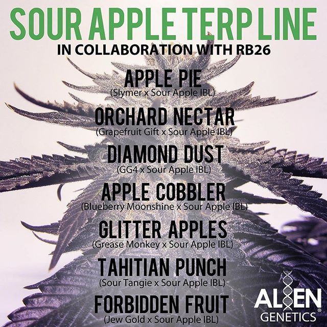 #Repost @alien.genetics ・・・ Dropping today 7pm @_californiaseedbank • THE SOUR APPLE TERP LINE • A collaboration with @rb26ca • #ApplePie (Slymer x Sour Apple IBL) Highly resinous, terpenes over 5%. Tastes are of exotic apple pies and desserts. Super creative high...perfect for artists. Flowering time: 56-70 days Yield: Medium to Heavy • #OrchardNectar (Grapefruit Gift x Sour Apple IBL) This strain is as close to walking through an orchard as you will find. Apple blossoms mix with grapefruit and purple nectar, creating a final aroma that is so complex it is confusing. Very positive and euphoric high. Flowering time: 56-70 days Yield: Very Heavy, large colas • #AppleCobbler (Blueberry Moonshine x Sour Apple IBL) BB Moonshine tests just over 32% and smells of blueberry muffins, and the SA IBL offspring are reminiscent of apple cobbler. Very energetic and productive high. Flowering time: 56-70 days Yield: Ridiculously Heavy • #AppleDiamonds (GG4 x Sour Apple IBL) The GG4 that tests over 34% made an amazing combination with the Sour Apple. The flowers taste of sour skunky apple candy fuel, and appear to have been rolled in the dust of diamonds. Very strong but functional high. Flowering time: 63-70 days Yield: Heavy, large grenade shaped flowers • #GlitterApples (Grease Monkey x Sour Apple IBL) When the GM was paired with the Sour Apple, a monster was born. These offspring yield heavy rock hard flowers that taste like apple-grape sno-cones. Heavy narcotic high. Great for pain and sleep. Flowering time: 63-70 days Yield: Very Heavy, dense round flowers • #TahitianPunch (Sour Tangie x Sour Apple IBL) This strain is wild... tastes like a mix of fresh squeezed lemonade, orange juice, apple cider, and many other tropical delights mixed into a big bowl of punch. Very positive high, great for daytime and social gatherings. Flowering time: 56-70 days Yield: Heavy, grows productive branches with large spear tops • #GoldenDelicious (Jew Gold x Sour Apple IBL) The finest in classic old world golden fuel meets Sour Apple terpenes. Tastes like a gasoline tanker crashed into a truck of fresh Granny Smith apples. Relieves pain and anxiety. Flowering time: 56-70 days Yield: Moderat