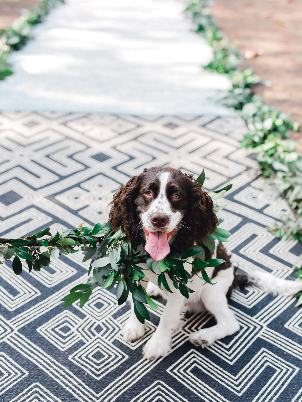 t-rex-the-dog-ringbearer-dog-at-wedding-dog-collar-dog-flower-crown-ivory-and-beau-savannah-florist-savannah-wedding-florist-cutest-dog-in-the-world-springer-spaniel-greenery-collar.JPG