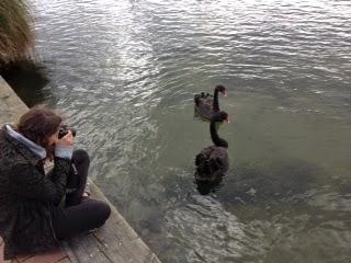 Black swans in Lake Rotorua