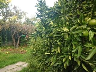 Apple and Lemon (?) Trees