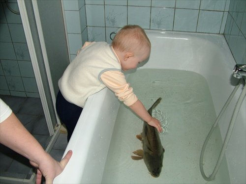 Photo of carp in a bathtub taken from 52insk.com. It is traditional to buy your Christmas carp while it's still swimming, keep him in your bathtub, and then serve him for dinner