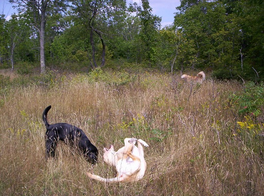 dogs-playing-in-the-field.JPG