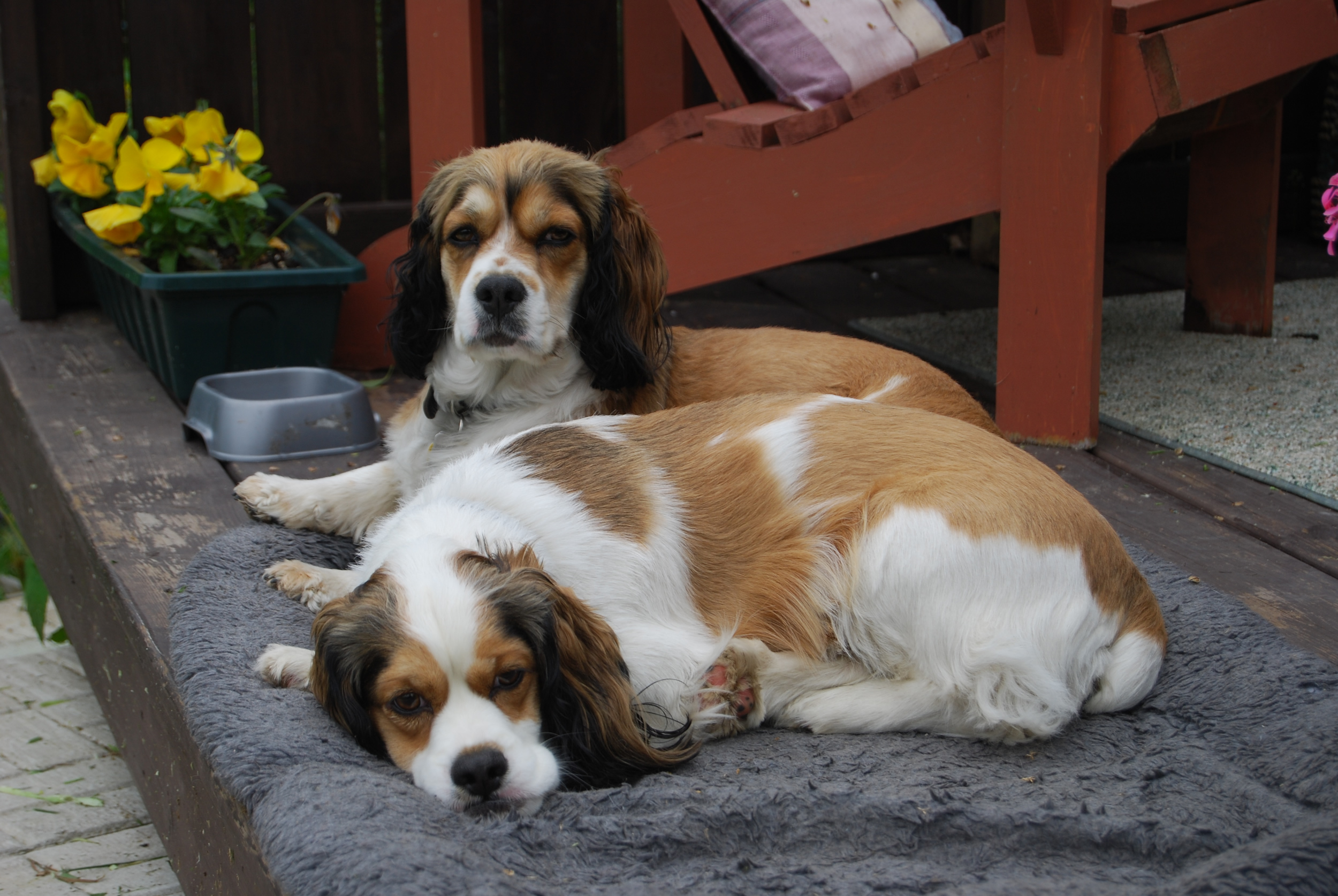 two-spaniels-lounging-outdoors.jpg