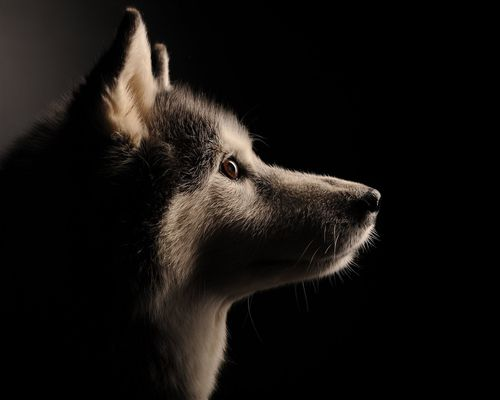 husky_pet_dog_four_paws_portrait