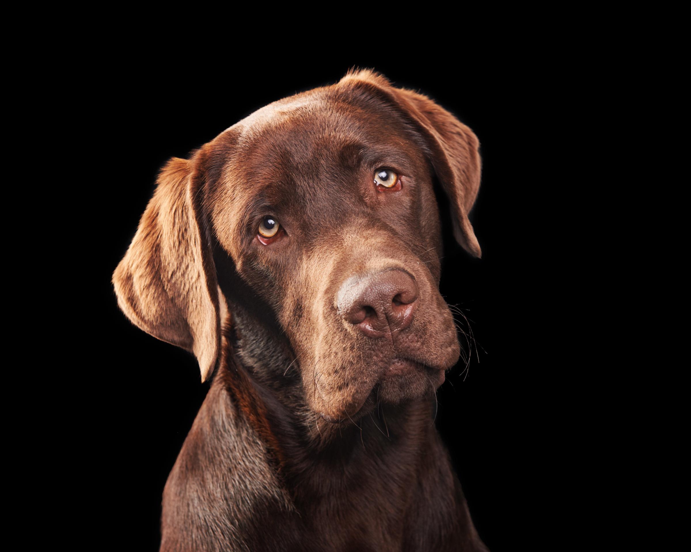 labrador_retriever_pet_dog_four_paws_portrait