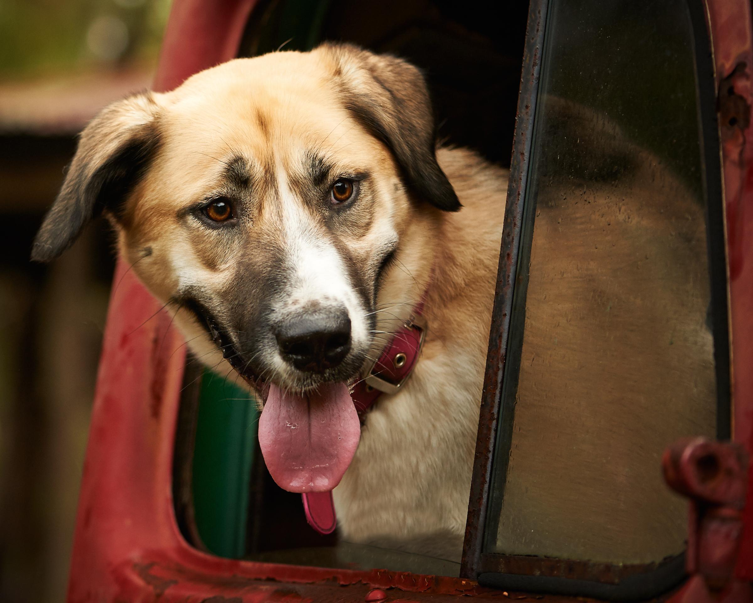 retriever_pet_dog_four_paws_portrait