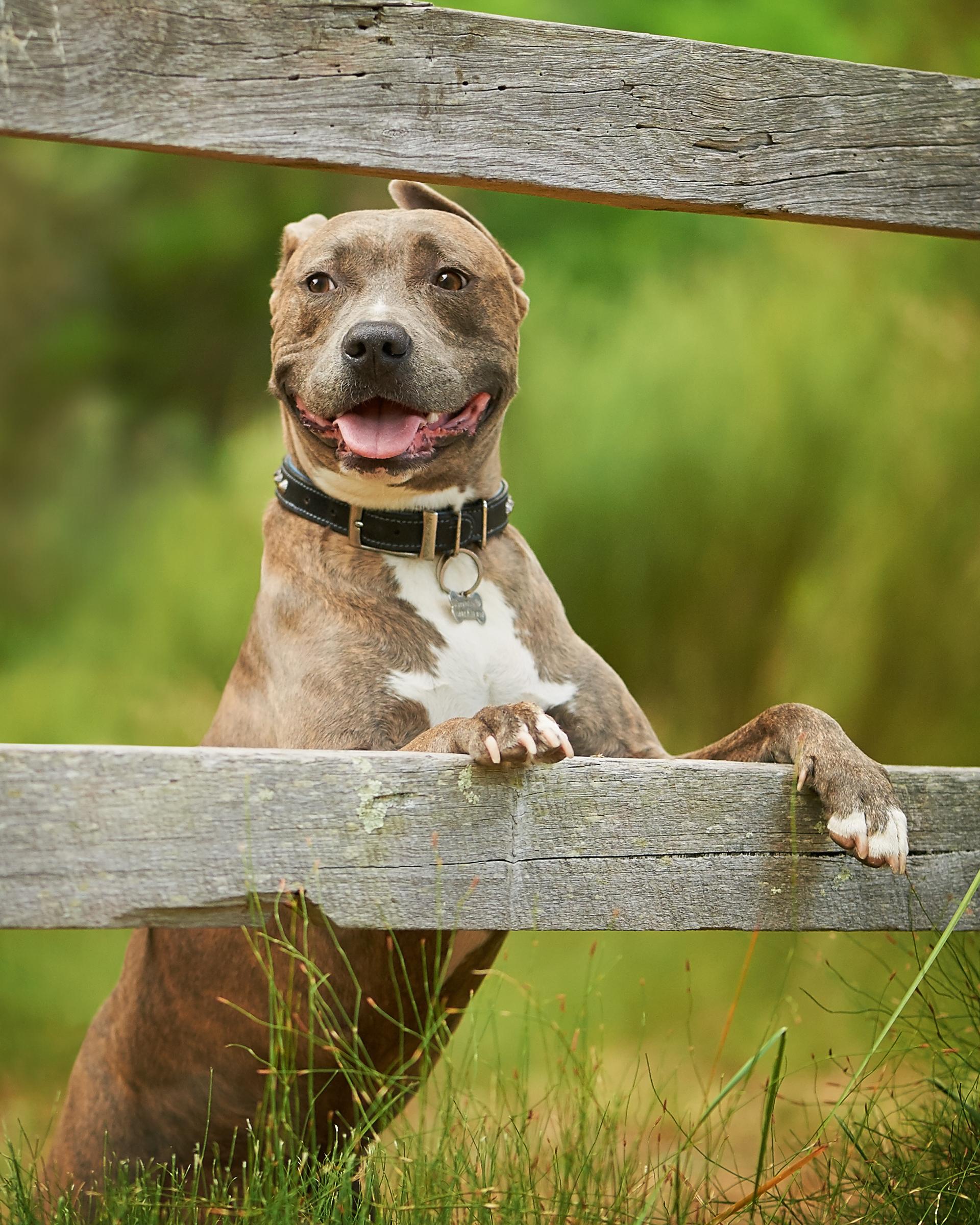 staffy_pet_dog_four_paws_portrait