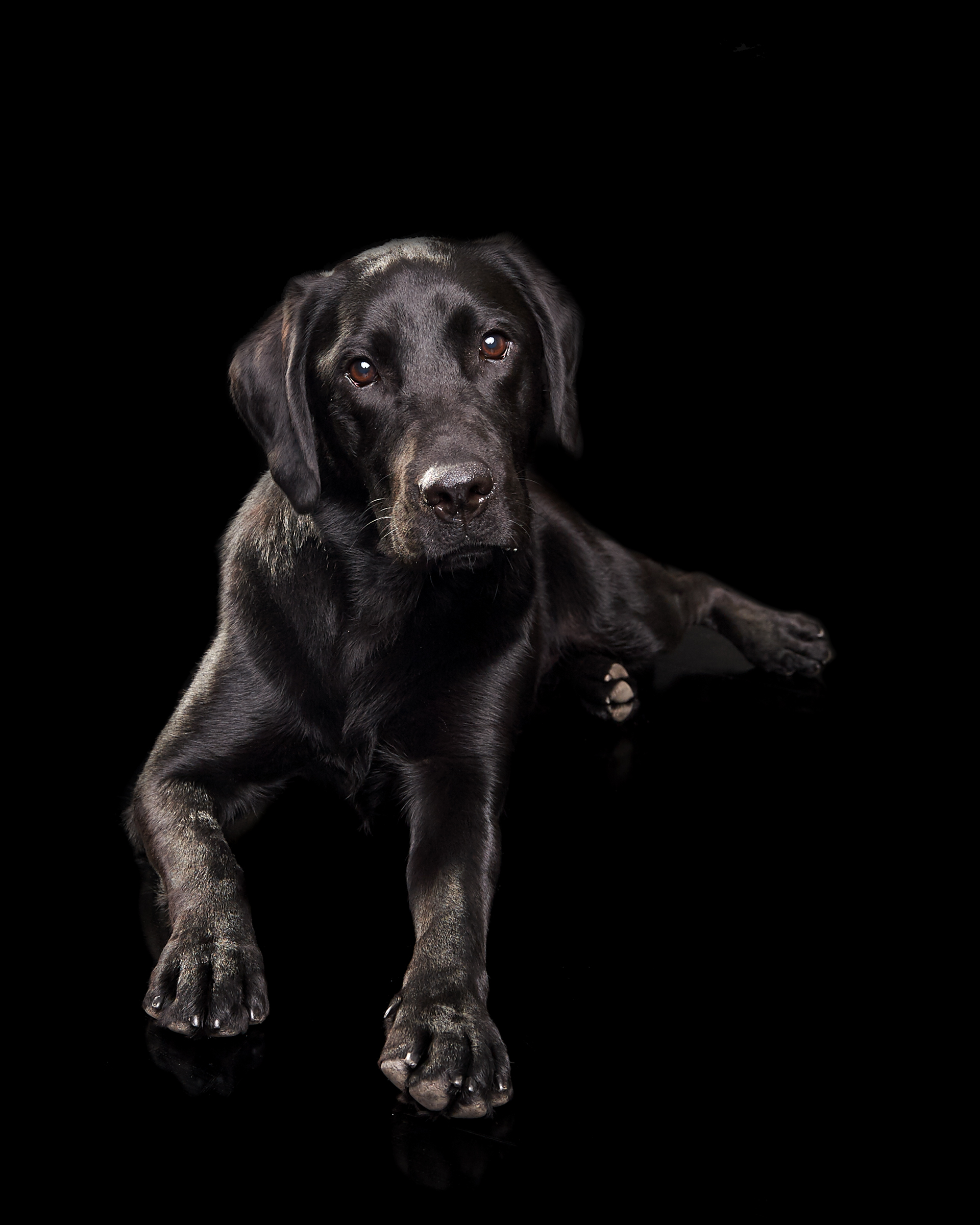 labrador_pet_dog_four_paws_portrait