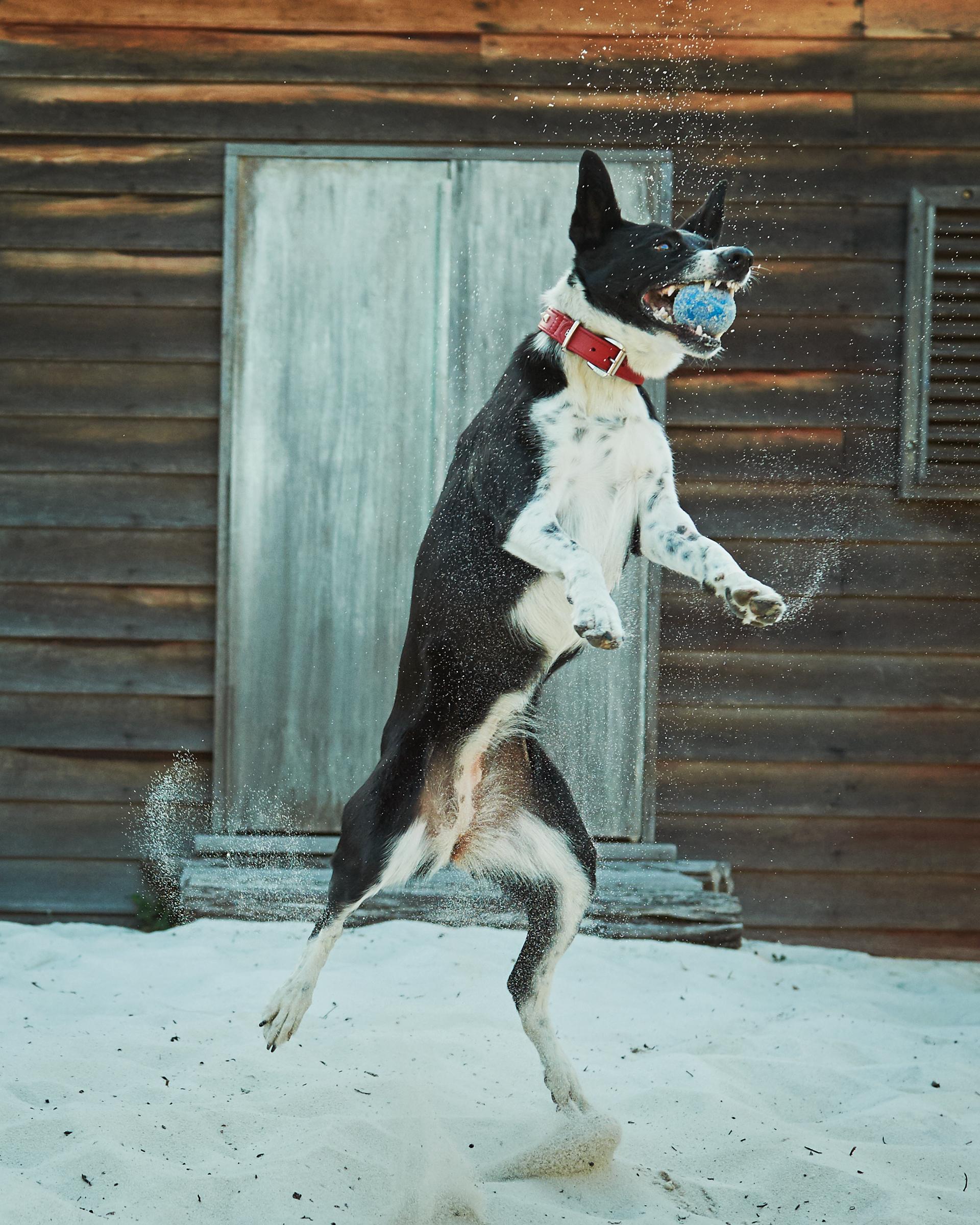 jumping_pet_dog_four_paws_portrait
