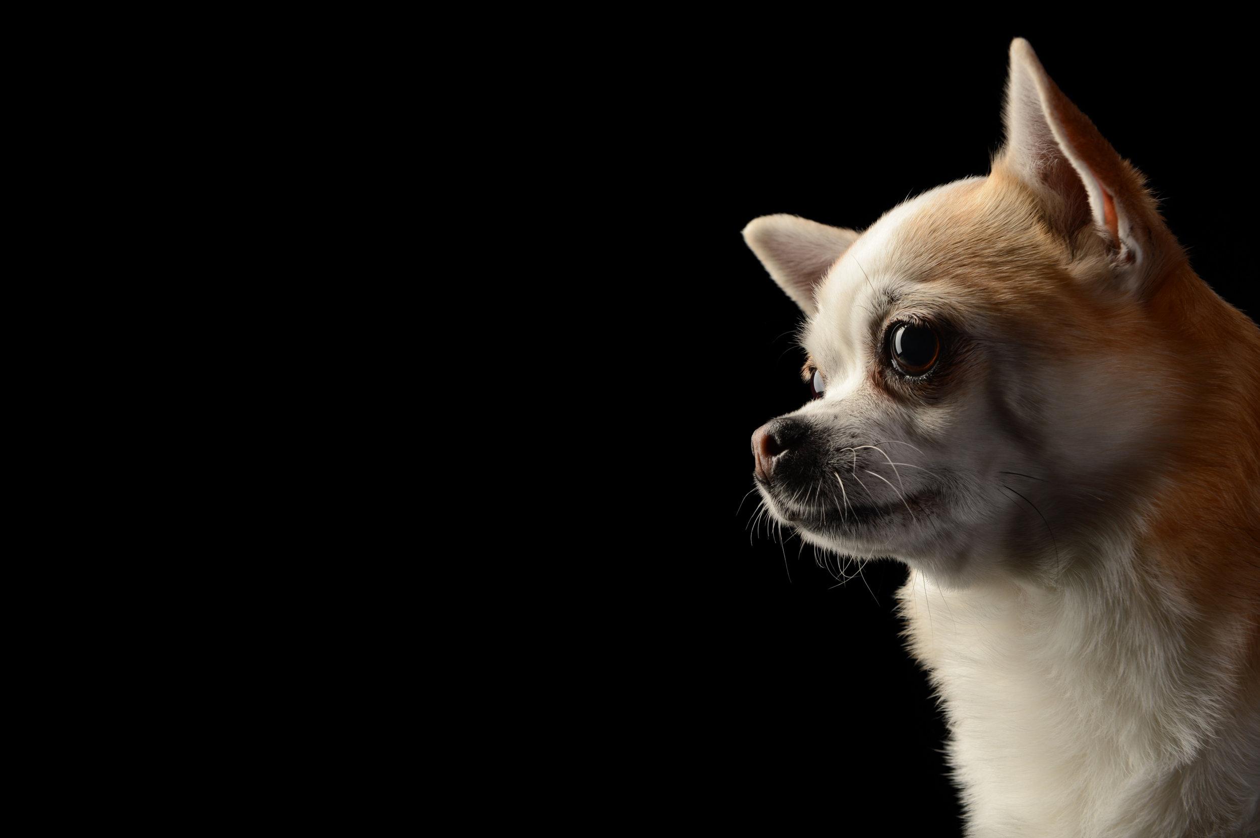 chihuahua_pet_dog_four_paws_portrait