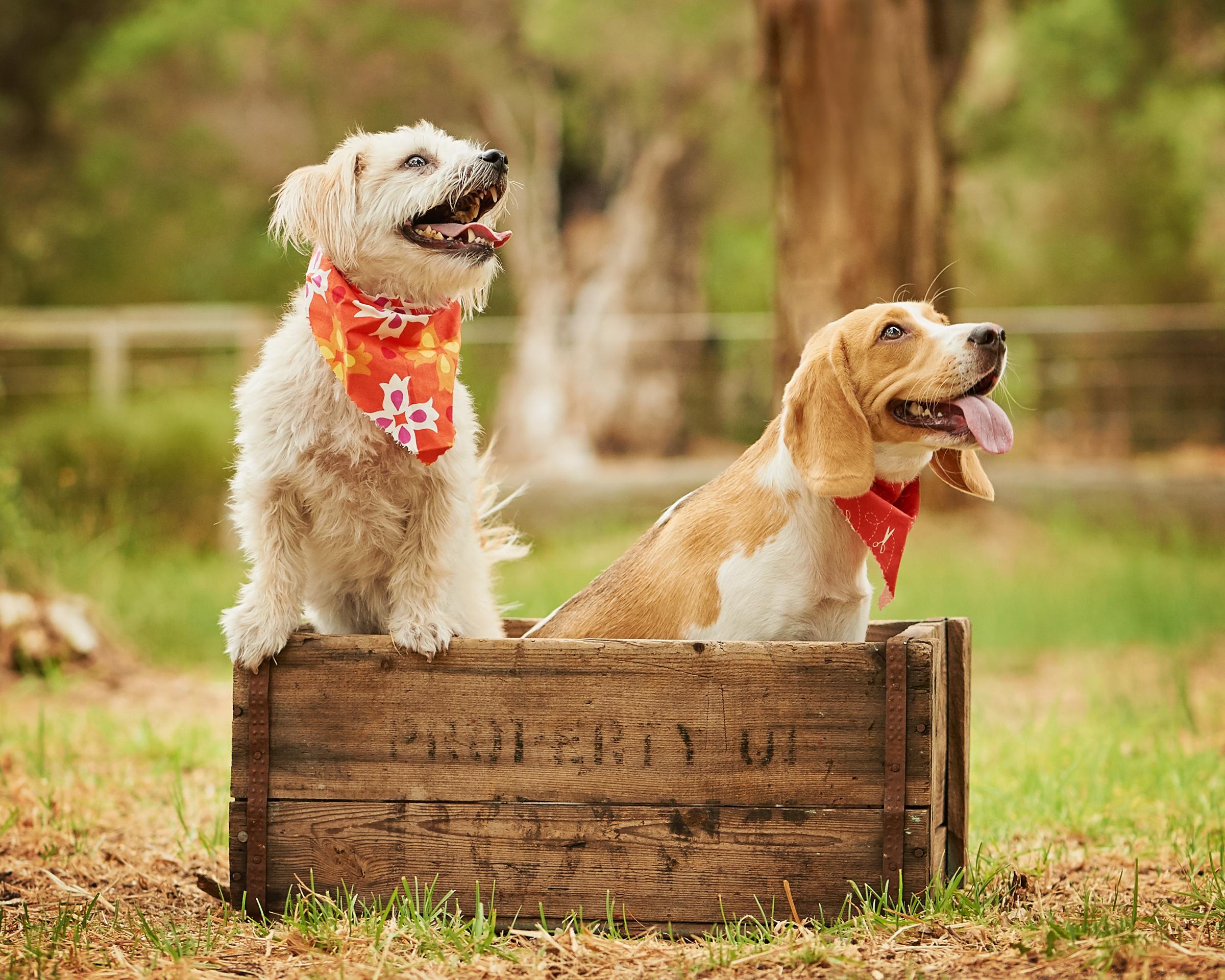 beagle_pet_dog_four_paws_portrait