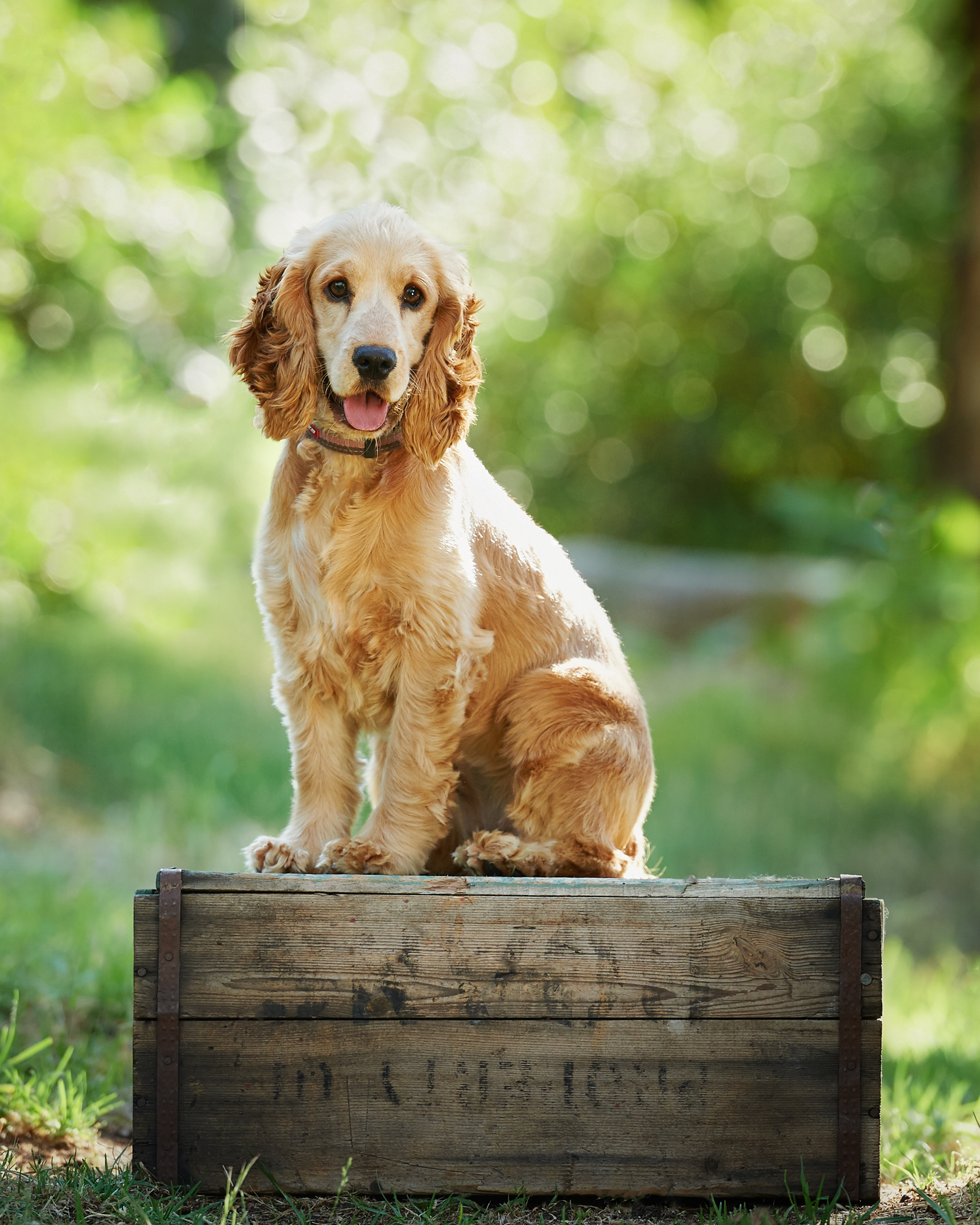 cocker_spaniel_Pet_dog_four_paws_portrait