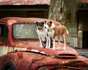 dogs_truck_pet_four_paws_portrait