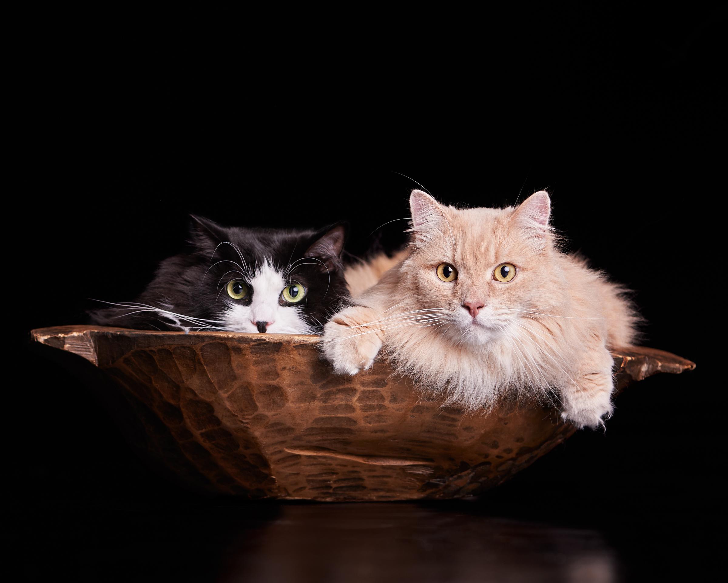 bowl_cat_four_paws_portrait_pet_photography