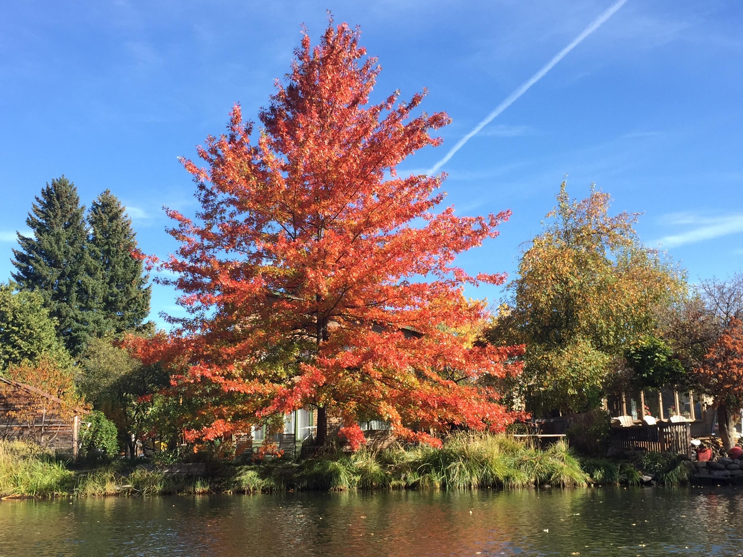 Pin Oak (Quercus palustris) on Deschutes River in Bend, OR.