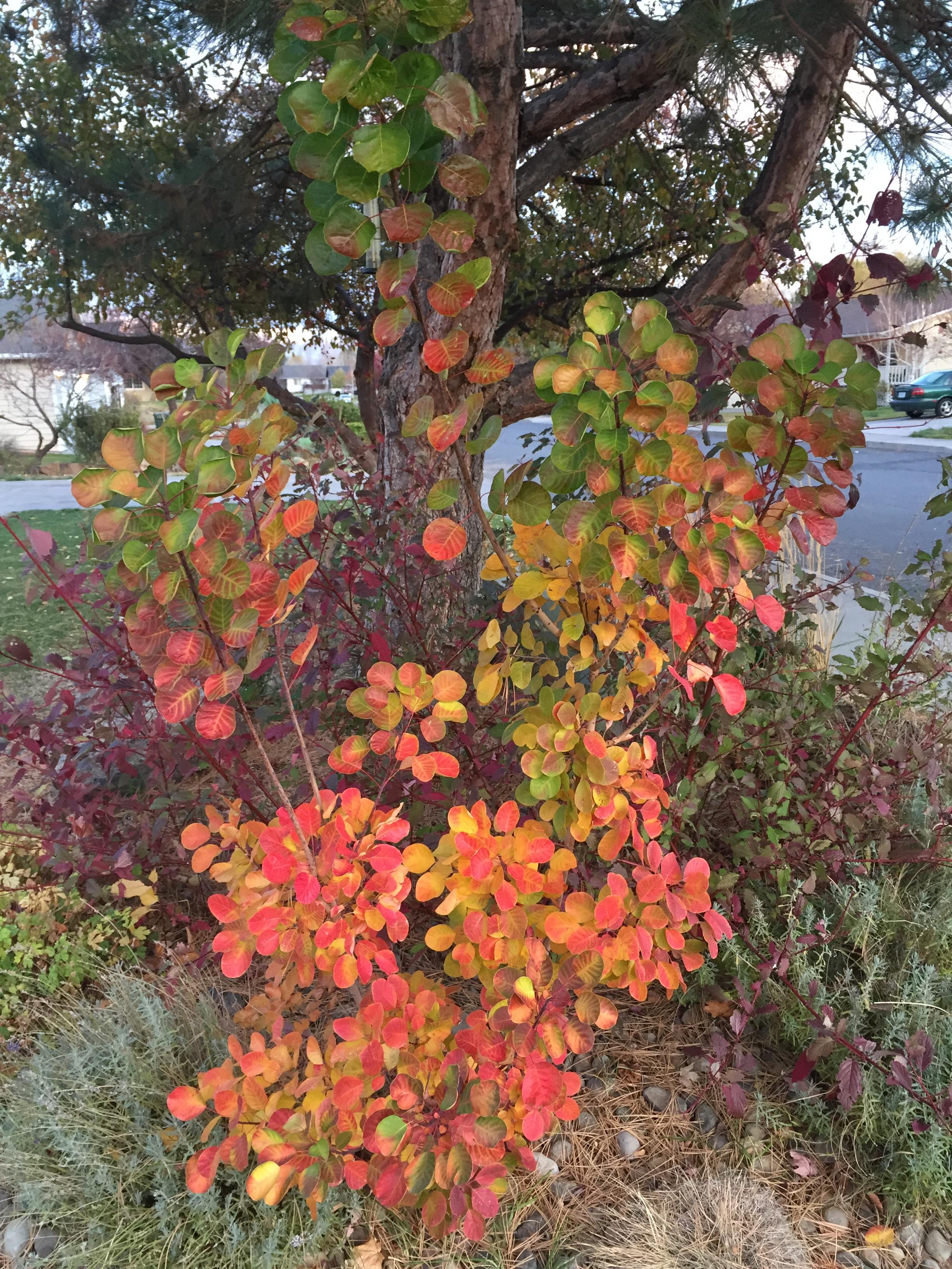 Golden Spirit Smokebush Fall Color (Cotinus coggygria 'Golden Spirit')
