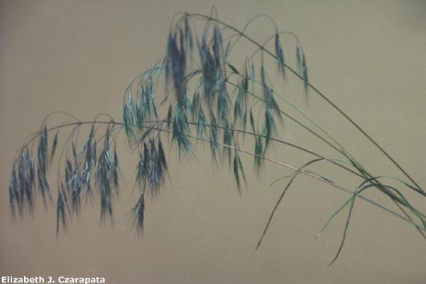 cheatgrass2.jpg