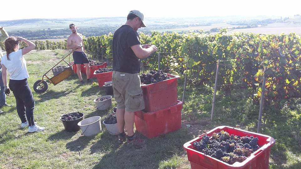 45kg boxes of Pinot Noir grapes