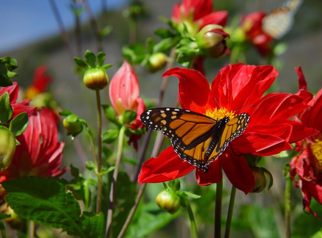 Esalen Butterflies, Photo by Jane Carleton