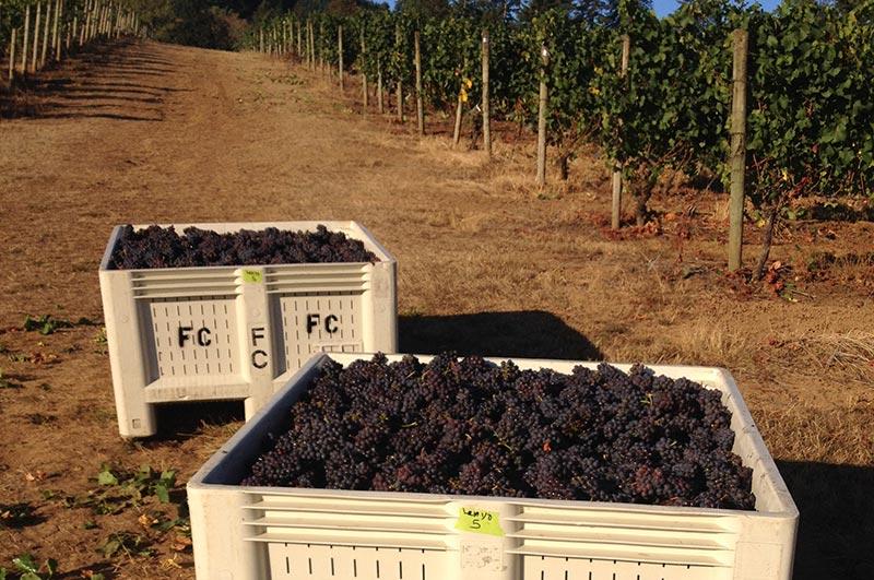 Carlton Oregon Wine Grape Harvest