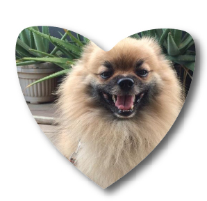 Moppy the Pomeranian of Instagram