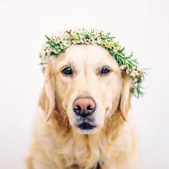 Golden Retriever Wearing Flower Crown