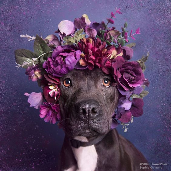 Sophie Gamand FLOWER POWER Pitbull Wearing Flowers