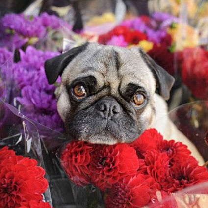 Pug sitting with bouquets of flowers
