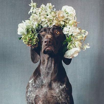 German Shorthaired Pointer wears flower crown