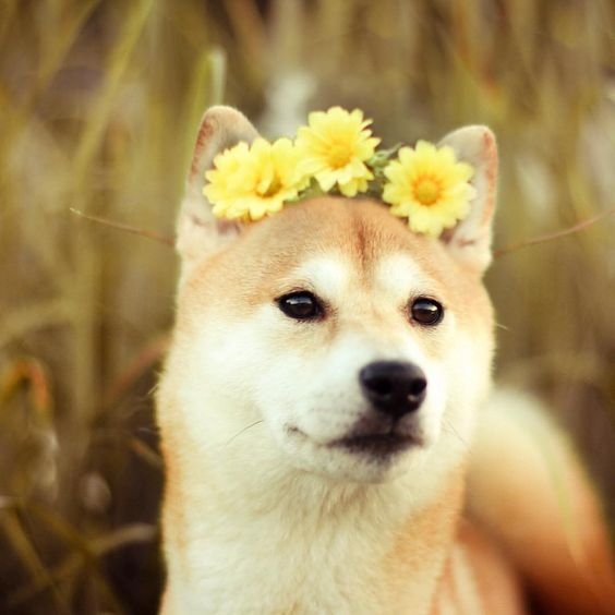 Shiba (cats_an_cats on Instagram) Wearing Yellow Flower Crown