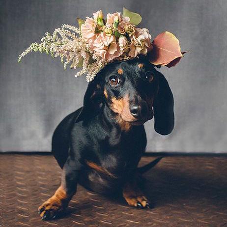 Dachshund wearing pink flower crown