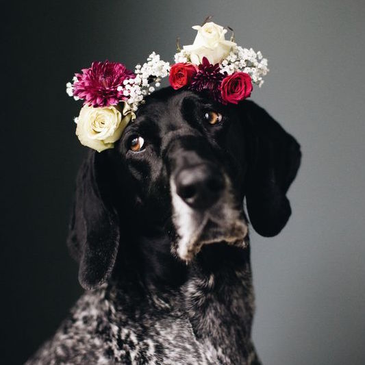 German Shorthaired Pointer Wearing Flower Crown