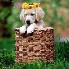 Golden Retriever Puppy in Basket wears Yellow Flowers in Fur