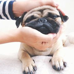 Cute Pug face squish