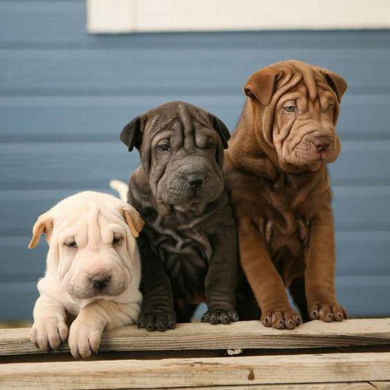 Three Shar Pei puppies