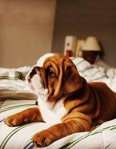 Wrinkly English Bulldog