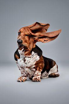 Wrinkled Basset Hound