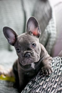 Blue Wrinkly French Bulldog Frenchie