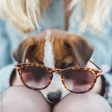 Jack Russell Terrier Puppy Wearing Circular Sunglasses