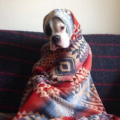 Boxer wrapped in Geometric Printed Blanket